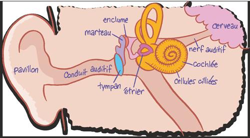 illu-oreilles